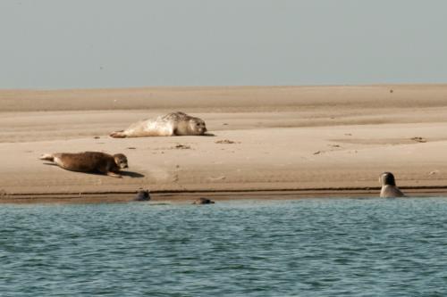 Zeehondjes op de zandplaten voor het strand van Renesse