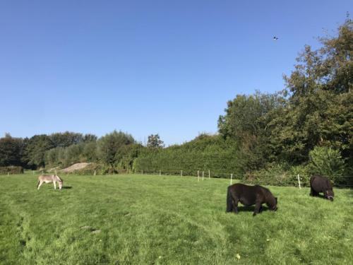 De dieren grazen 's middags lekker in een van de weides