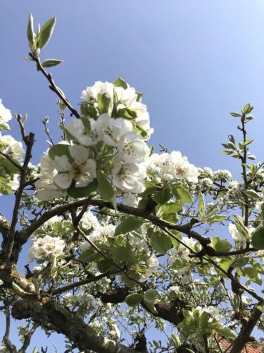In het voorjaar staan de fruitbomen prachtig in bloei!