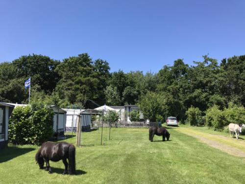 Als het rustig is op de camping lopen de pony's en de ezel gezellig over de camping